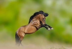 Wild stallion prancing Stock Image