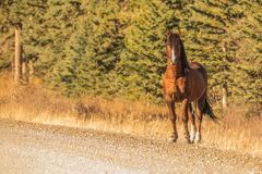 Wild Stallion on the Roadside royalty free stock images