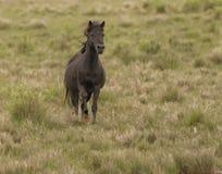 Wild stallion running. Chincoteague National Wildlife Refuge, Virginia Stock Images