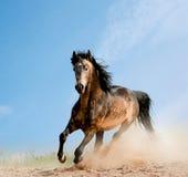 Wild stallion. Running in dust Royalty Free Stock Photo