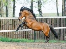 Wild stallion. Running in paddock Stock Image