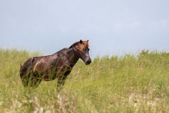 Wild Stallion. A wild stallion watches over his herem from a nearby dune stock photo