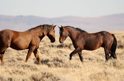 Wild Stallions Meet Royalty Free Stock Images