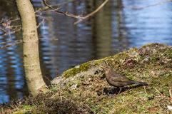 Wild starling Stock Images