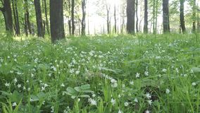 Wild Stellaria white flowers swinging on the wind. Spring.Stellaria is a genus species flowering plants in the family Caryophyllac. Eae stock video footage