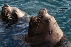 Wild Steller Sea Lion Eumetopias Jubatus with open mouth and teeth fangs swims in cold waves Pacific Ocean. Wild Steller Sea Lion or Northern Sea Lion Eumetopias stock photo