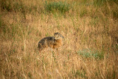 Wild steppe hare Stock Images