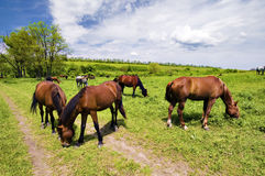 Wild steppe horses Stock Photo