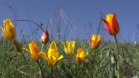 Wild Steppe Tulip. Wild rare species tulip in the desert stock video