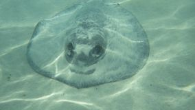 Wild Stingray basking in the sun royalty free stock images