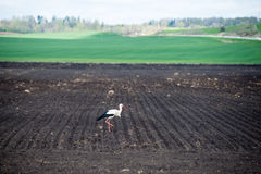 Wild stork in the meadow Stock Images