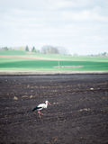 Wild stork in the meadow Royalty Free Stock Image