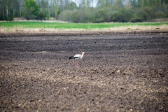 Wild stork in the meadow Stock Photo