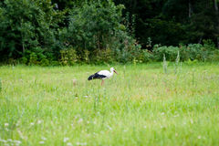 wild stork in the meadow Royalty Free Stock Photo