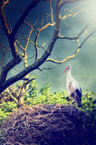 Wild stork in nest Royalty Free Stock Photo