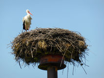 Wild stork in the nest Royalty Free Stock Photo