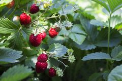 Free Wild Strawberres And Blooms With Red Berries Growing In The Garden, Useful Fruit Stock Photo - 134400640