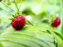 Wild strawberries. Closeup Royalty Free Stock Images