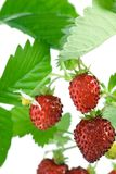 Wild strawberries. Royalty Free Stock Images