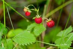 Wild strawberries. Growing on plant Stock Photo