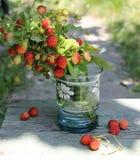 Wild strawberries Stock Photography