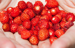 Wild strawberries Stock Images