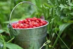 Wild strawberries. Pail full of wild strawberries Stock Photography