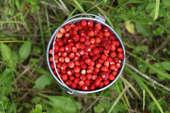 Wild strawberries. Pail full of wild strawberries Royalty Free Stock Images