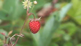 Wild strawberries. stock video footage