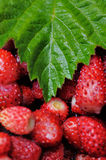 Wild strawberries. Royalty Free Stock Photo