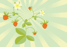 Wild strawberries. A lovely wild strawberry plant with luscious red berries, green leaves and cute white flowers. Set against a retro sunburst background Stock Image