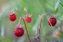 Wild strawberries. Aka woodland strawberry (Fragaria vesca) plant Stock Photos