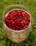 Wild strawberries in a basket Stock Images