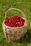 Wild strawberries in a basket Royalty Free Stock Photography