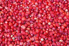 Wild strawberries. Big bunch of small red wild strawberries Stock Images