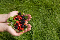 Wild strawberries and blackberries in hands. On a grass Royalty Free Stock Photo