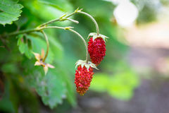 Wild strawberries close up Royalty Free Stock Images