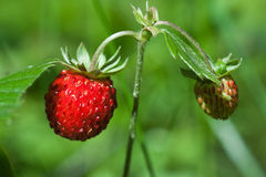 Wild strawberries closeup Royalty Free Stock Photography