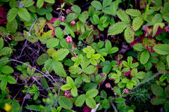 Wild strawberries in a field Stock Image