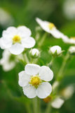 Wild Strawberries Flowers Stock Photo
