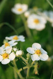 Wild Strawberries Flowers Stock Photography