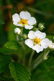 Wild Strawberries Flowers Royalty Free Stock Photos