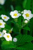Wild Strawberries Flowers Stock Images