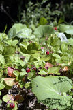 Wild strawberries in a forest glade. Strawberries in a clearing in the woods, under the bright sun Royalty Free Stock Photo