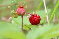 Wild strawberries - forest products Royalty Free Stock Photo
