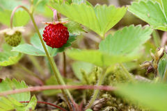 Wild strawberries - forest products Stock Images