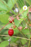 Wild strawberries - forest products Stock Photo