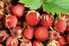 Wild strawberries Fragaria viridis with green leaf Stock Images