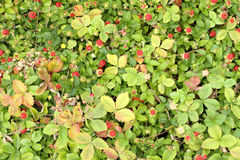 Wild strawberries. In a garden Royalty Free Stock Image