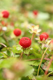 Wild strawberries. In a garden Royalty Free Stock Images